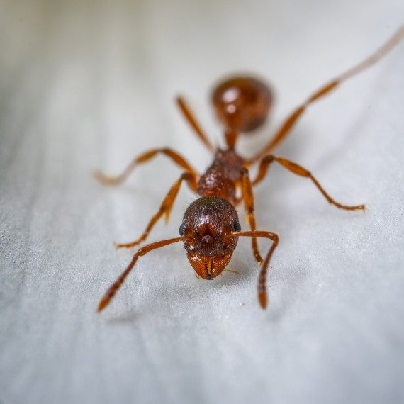 Field Ants, Pest Control in Wealdstone, Harrow Weald, HA3. Call Now! 020 8166 9746