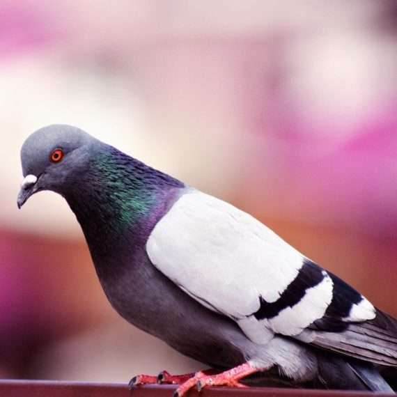 Birds, Pest Control in Wealdstone, Harrow Weald, HA3. Call Now! 020 8166 9746