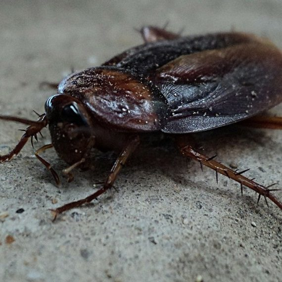 Cockroaches, Pest Control in Wealdstone, Harrow Weald, HA3. Call Now! 020 8166 9746