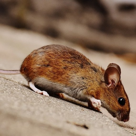 Mice, Pest Control in Wealdstone, Harrow Weald, HA3. Call Now! 020 8166 9746