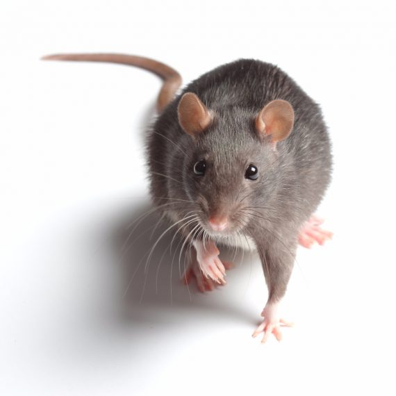 Rats, Pest Control in Wealdstone, Harrow Weald, HA3. Call Now! 020 8166 9746