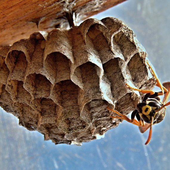 Wasps Nest, Pest Control in Wealdstone, Harrow Weald, HA3. Call Now! 020 8166 9746
