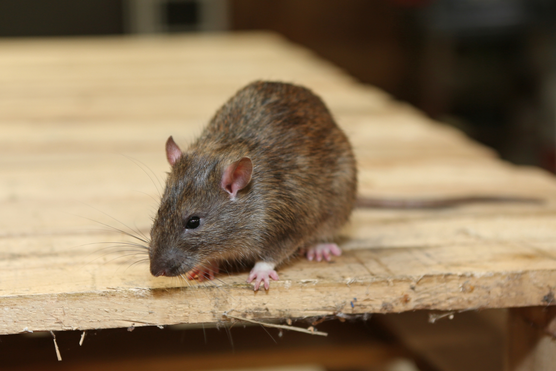 Rat Infestation, Pest Control in Wealdstone, Harrow Weald, HA3. Call Now 020 8166 9746
